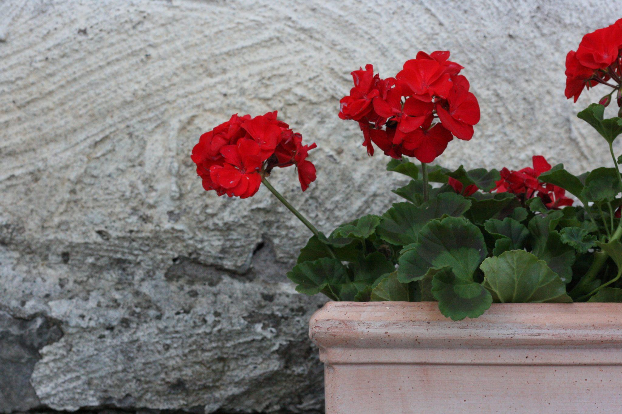 balkonglåda med röda pelargoner